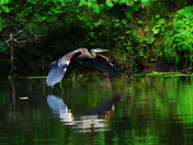 Great Blue Heron gliding in to feed at a small creek across the river from my co