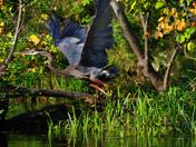 Great Blue Heron take-off
