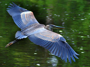Real close fly by of a Blue Heron