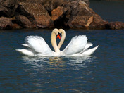 Are these Swans In Love
