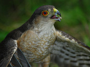 Sharp Shinned Hawk Killing Blue Jay