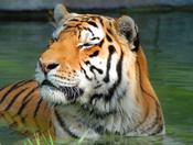 Siberian Tiger taking a quiet time out
