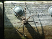 good 'ol Ontario dock spider