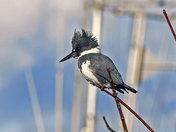 kingfisher adobe fix.jpg