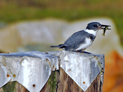 Belted Kingfisher with Dinner