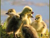 goslings cg.jpg