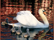 swan and cygnets cg.jpg