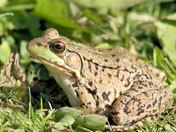frog desp.jpg