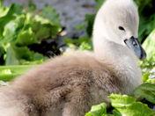 baby swan 2.jpg
