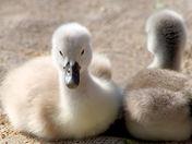 swan siblings.jpg