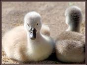swan siblings cg.jpg