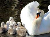 protecting swan.jpg
