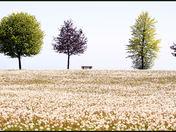 dandelion fields cg.jpg