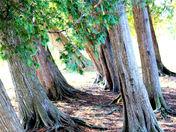 leaning trees.jpg