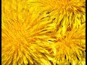 dandelion bouquet cg.jpg