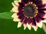 SUNFLOWER WITH GREEN BACKGROUND.JPG