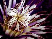 CLEMATIS FLOWER CENTRE (MACRO).JPG