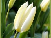 cg tulips.jpg