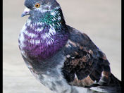 colourful pigeon cg.jpg