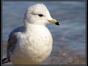 young gull cg.jpg