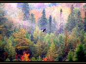 fall colours and goose in flight cg.jpg
