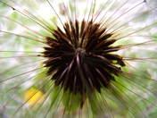 Dandelion Seeds.jpg