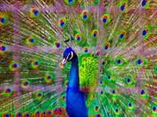 Pretty Peacock.jpg
