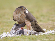 Coopers Hawk with Pigeon Kill
