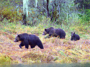 Grizzly Bears, Mom, Son and Cub