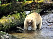 One Wet and Angry Kermode Bear