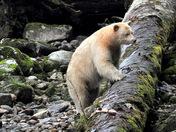 Kermode or 'Spirit Bear' #1