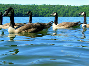 Swimming with Geese #8