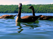 Swimming with Geese #6