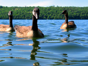Swimmiing with Geese #5