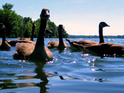 Swimming with Geese #3