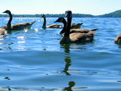 Swimming with Geese #2