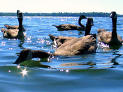 Swimming with Geese #1