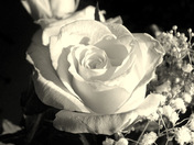 Rose, Black & White