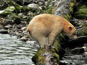 'Circus Spirit Bear'!