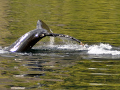 Shallow Water Whale Tail