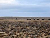 Musk Ox grazing on Banks Island