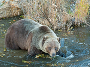 Grizzly Bear Soaking In Frozen Pond