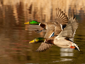 2 Drake Mallards Flying