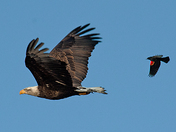 Bald Eagle Being Harassed by Red Winged Blackbird