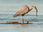 Blue Heron eating eel