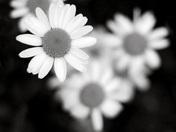 Simply Daisy