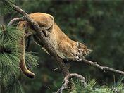 Cougar in Pondorosa Pine