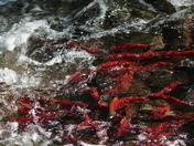 spawning frenzy