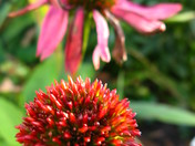 Cone Flower's Last Days