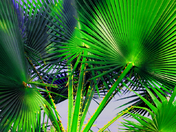 Palm Fronds1